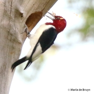 red-headed woodpecker 2G0A0248© Maria de Bruyn res