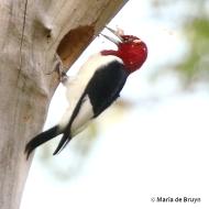 red-headed woodpecker 2G0A0248© Maria de Bruyn res
