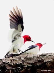 red-headed woodpecker P4217162© Maria de Bruyn res