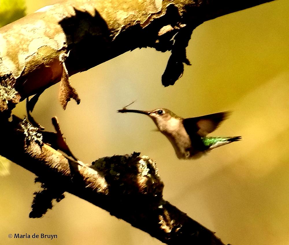 ruby-throated hummingbird 2G0A4084© Maria de Bruyn res