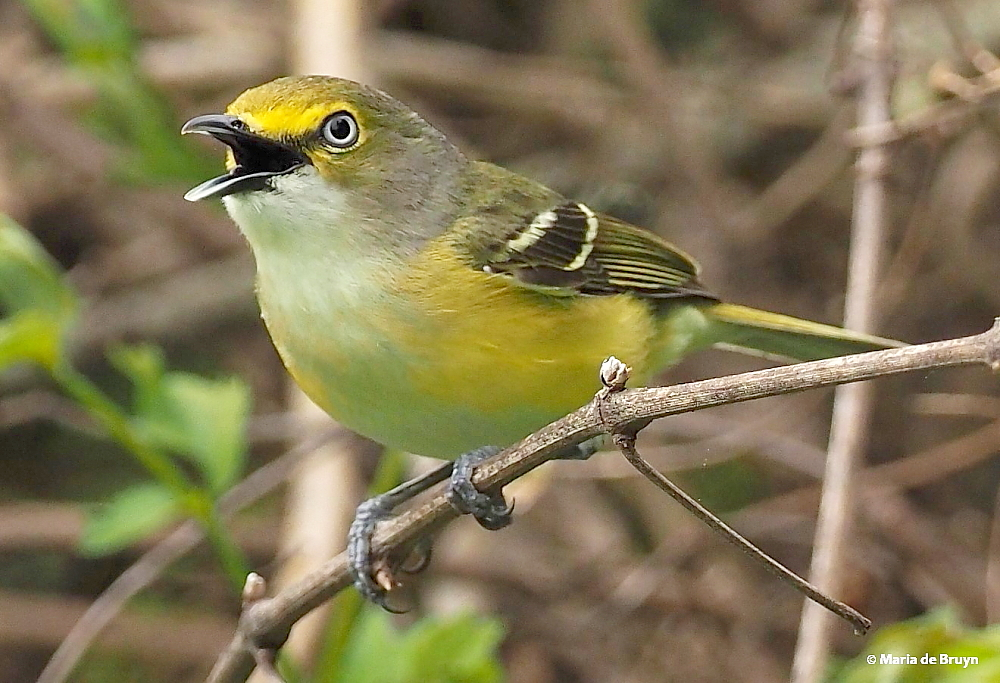 white-eyed vireo P4123164 © Maria de Bruyn res