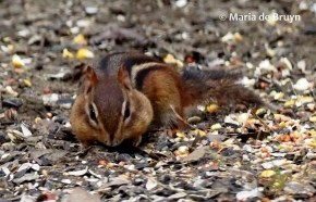 Eastern chipmunk P3022806 © Maria de Bruyn (2 res)