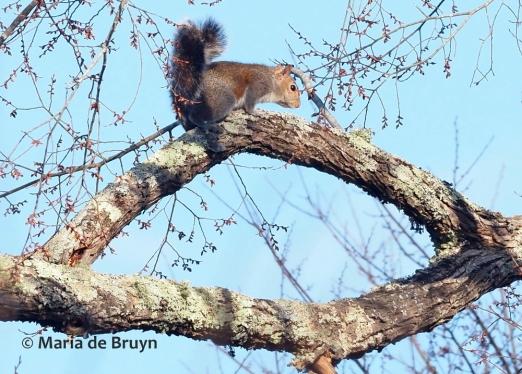 Eastern gray squirrel P2090522© Maria de Bruyn (2 res)