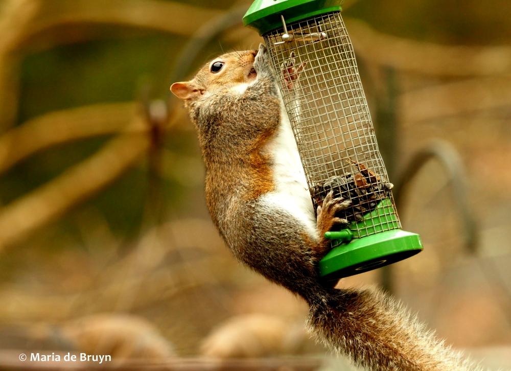 Eastern gray squirrel P2197722© Maria de Bruyn (2) res