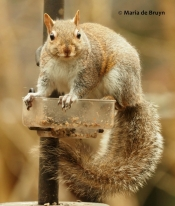 Eastern gray squirrel P2197741© Maria de Bruyn (2 res)