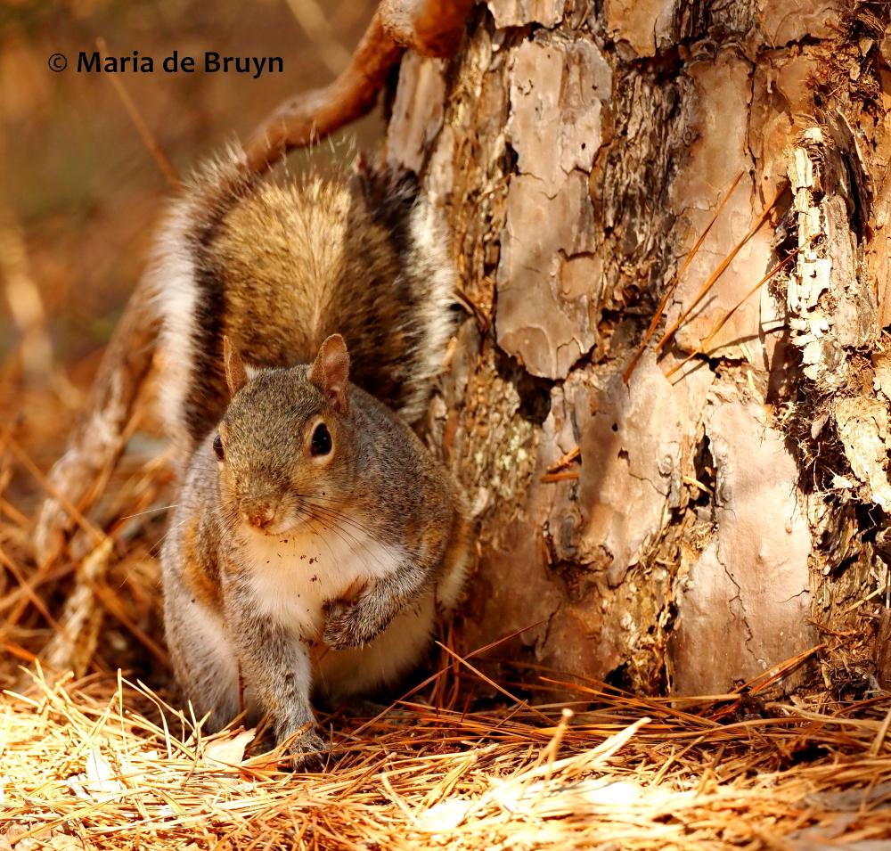 Eastern gray squirrel P2218598© Maria de Bruyn (2 res)