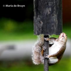 Eastern gray squirrel P5255633© Maria de Bruyn (2) res