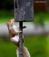 Eastern gray squirrel P5255651© Maria de Bruyn (2) res