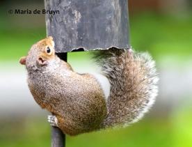 Eastern gray squirrel P5255669© Maria de Bruyn (2 res)