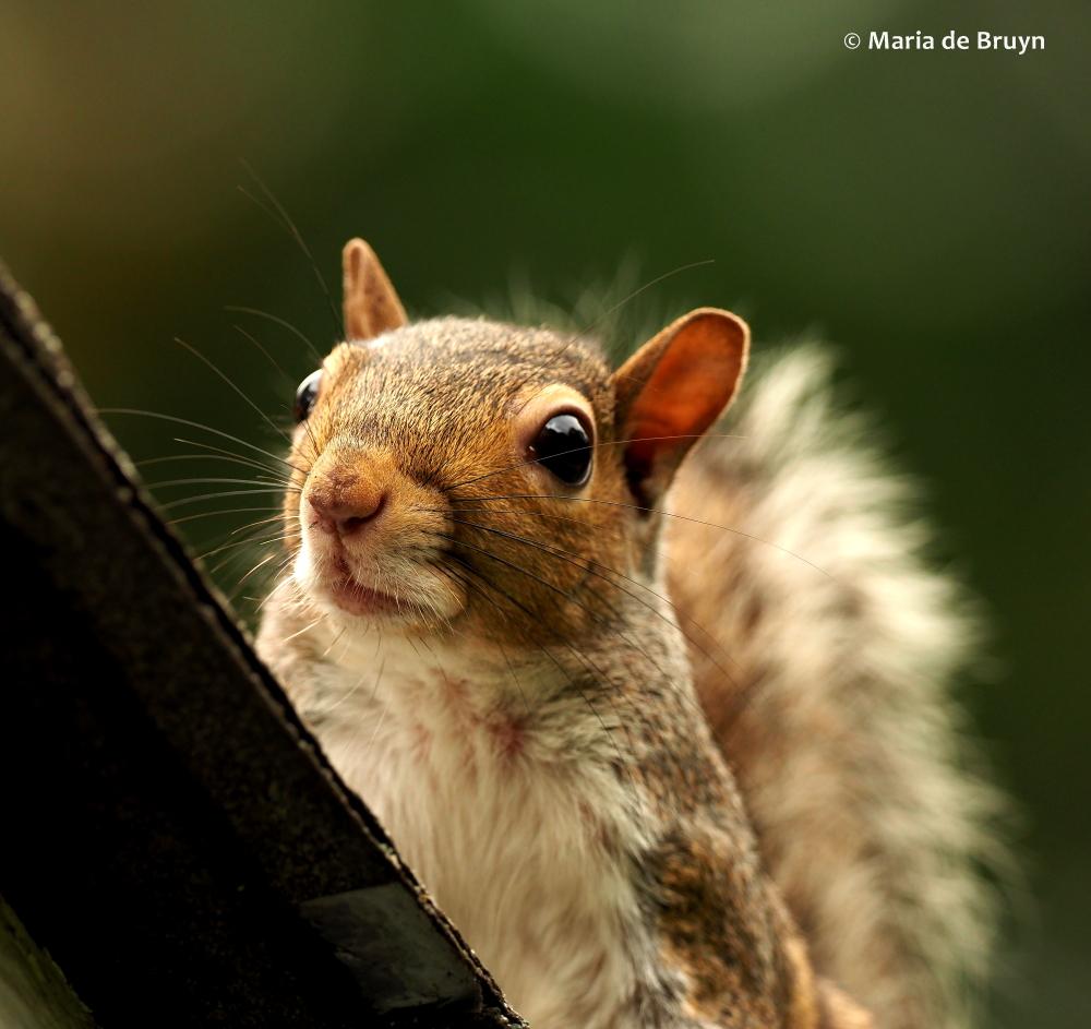 Eastern gray squirrel P6170625© Maria de Bruyn (2 ) res