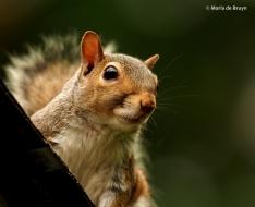 Eastern gray squirrel P6170627© Maria de Bruyn (2) res