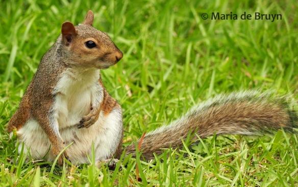 Eastern gray squirrel P6267310© Maria de Bruyn res (2)