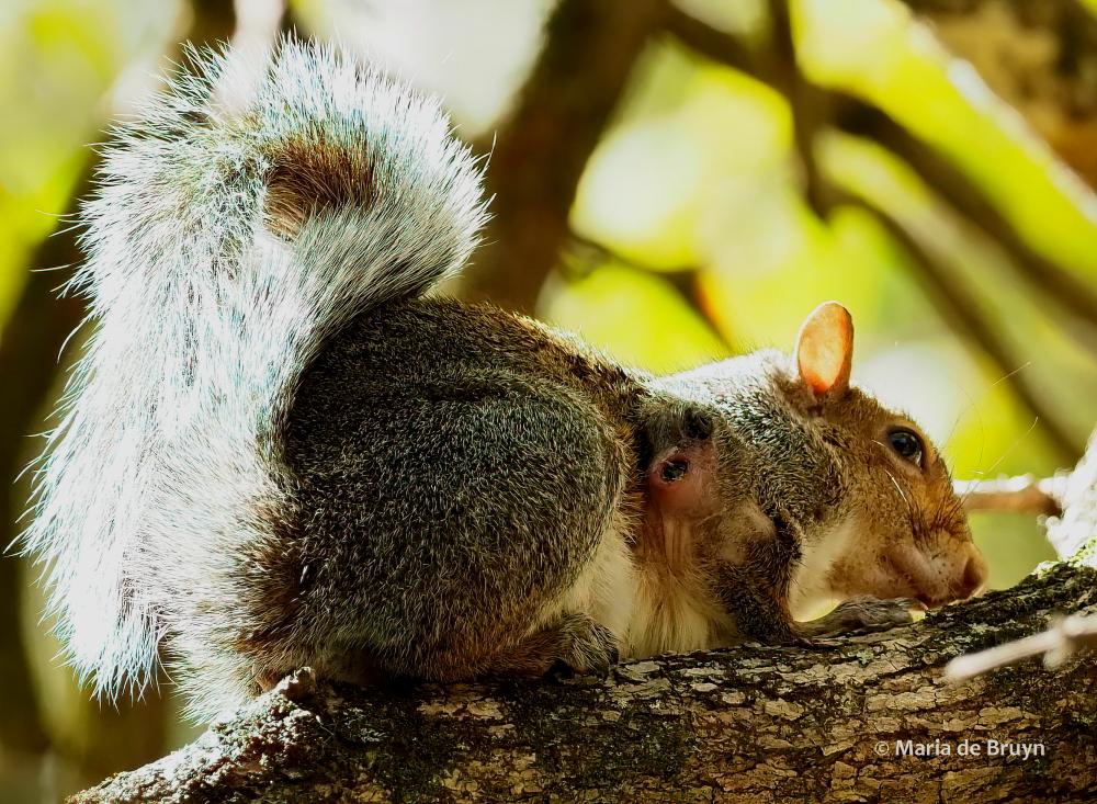 Eastern gray squirrel PA170160© Maria de Bruyn ed (2) res