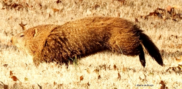 groundhog P2248981© Maria de Bruyn res