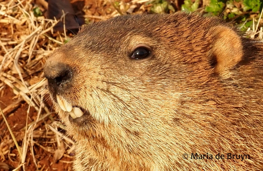 groundhog P2249047© Maria de Bruyn (2 res)