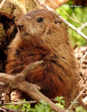 groundhog P3203312© Maria de Bruyn (2) res
