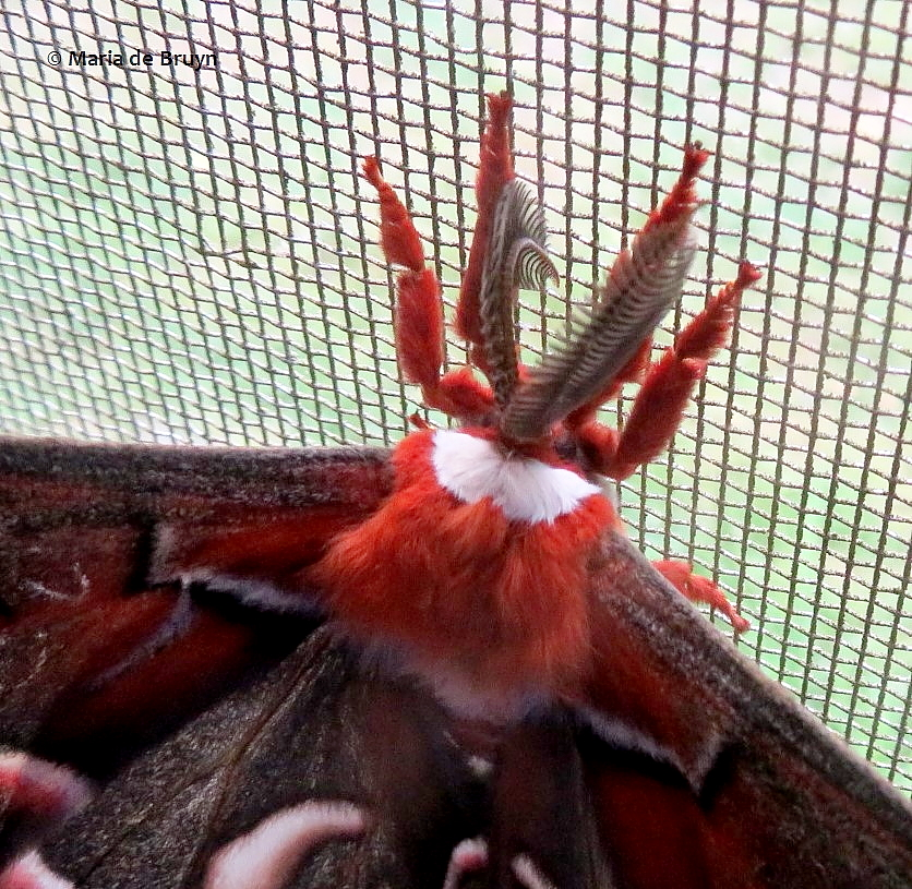 cecropia moth IMG_0003© Maria de Bruyn 2 res