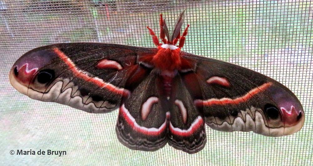 cecropia moth IMG_0006© Maria de Bruyn (2) res