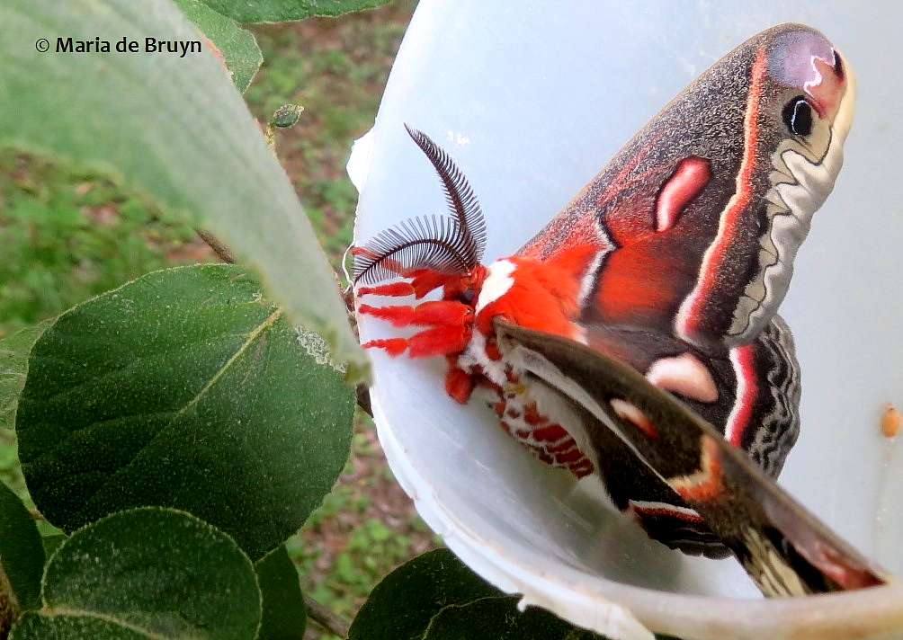 cecropia moth IMG_0011© Maria de Bruyn (2) res