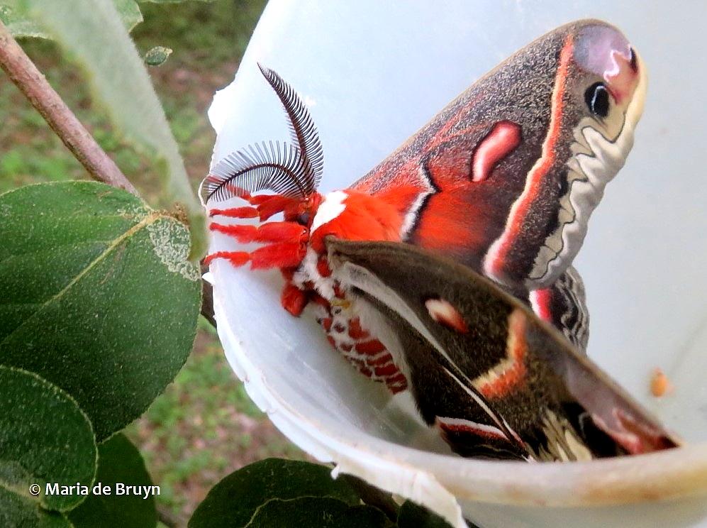 cecropia moth IMG_0012© Maria de Bruyn (2) res