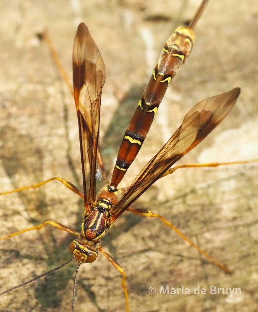 female giant ichneumon wasp P5068007 © Maria de Bruyn res (2)