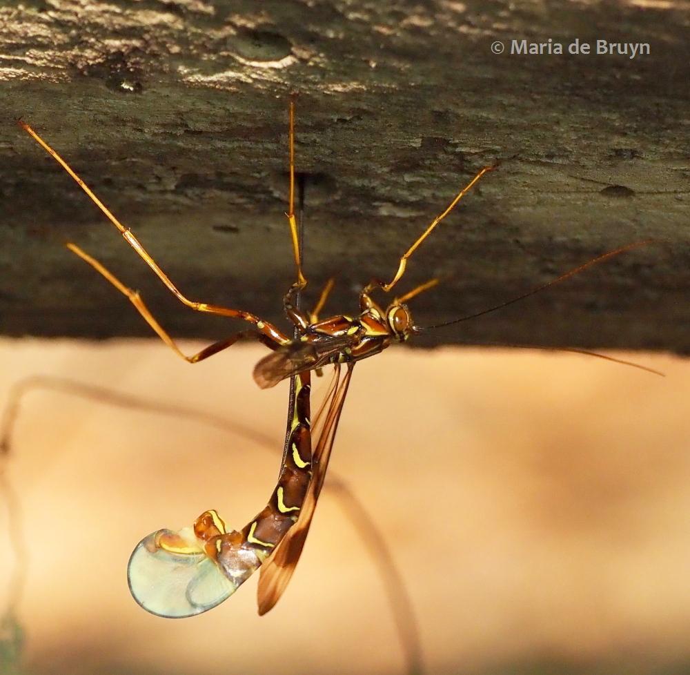 female giant ichneumon wasp P5068109 (© Maria de Bruyn res (2)
