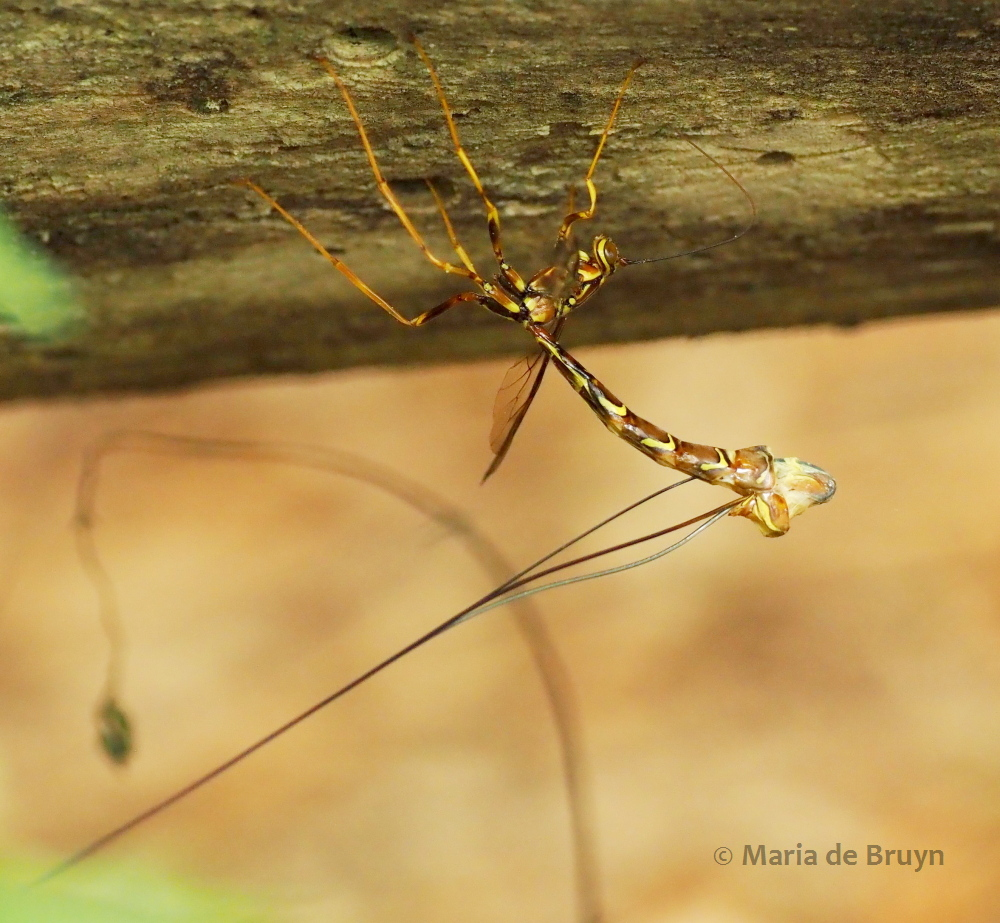 female giant ichneumon wasp P5068170 © Maria de Bruyn res (2)