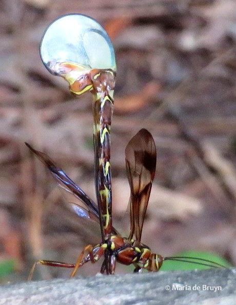 ichneumon wasp IMG_2002 © Maria de Bruyn res (2)