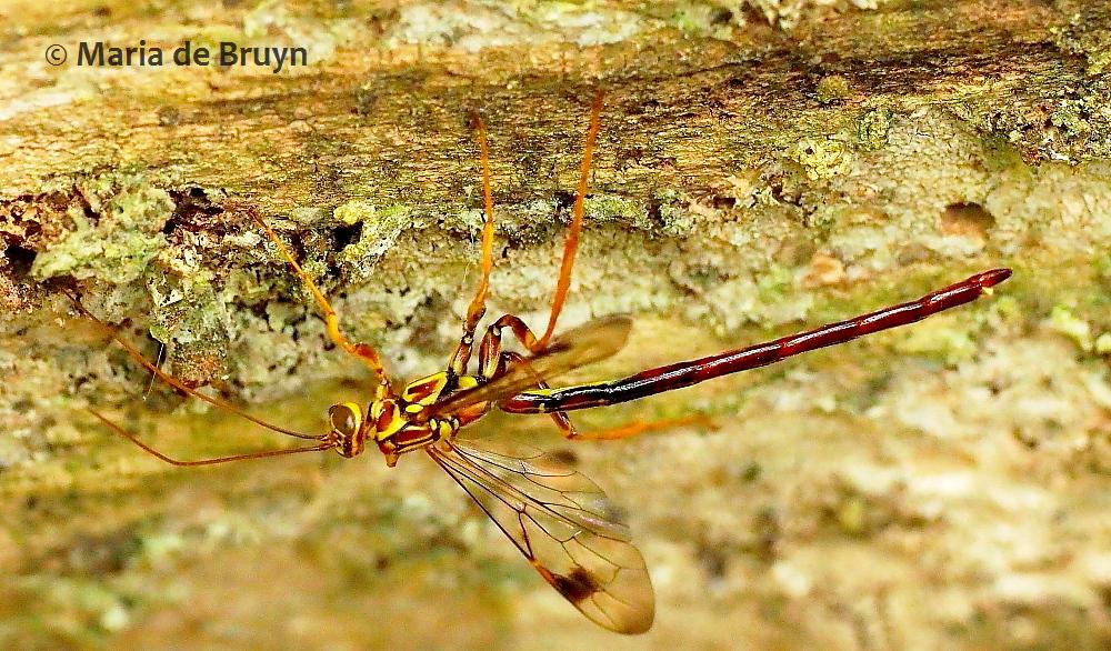 ichneumon wasp P5067996© Maria de Bruyn res (2)