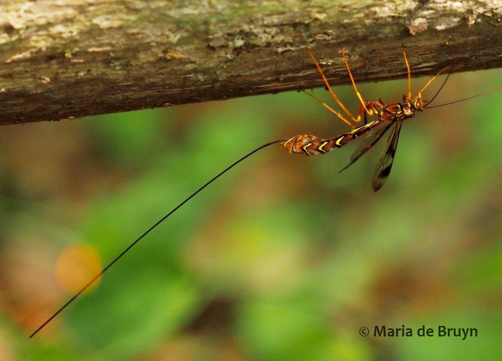ichneumon wasp P5068014 © Maria de Bruyn res (2)