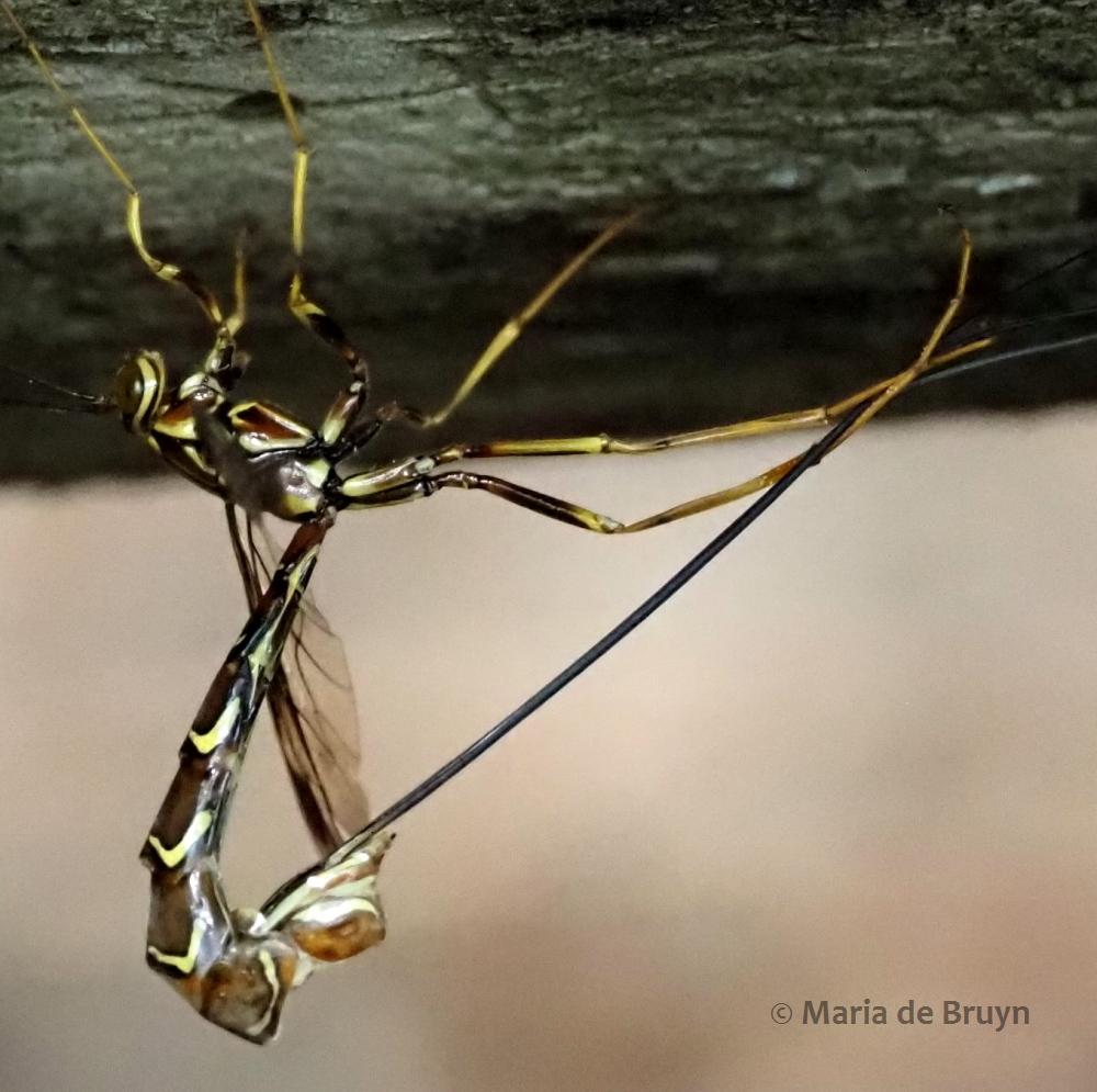 ichneumon wasp P5068164© Maria de Bruyn res (2)