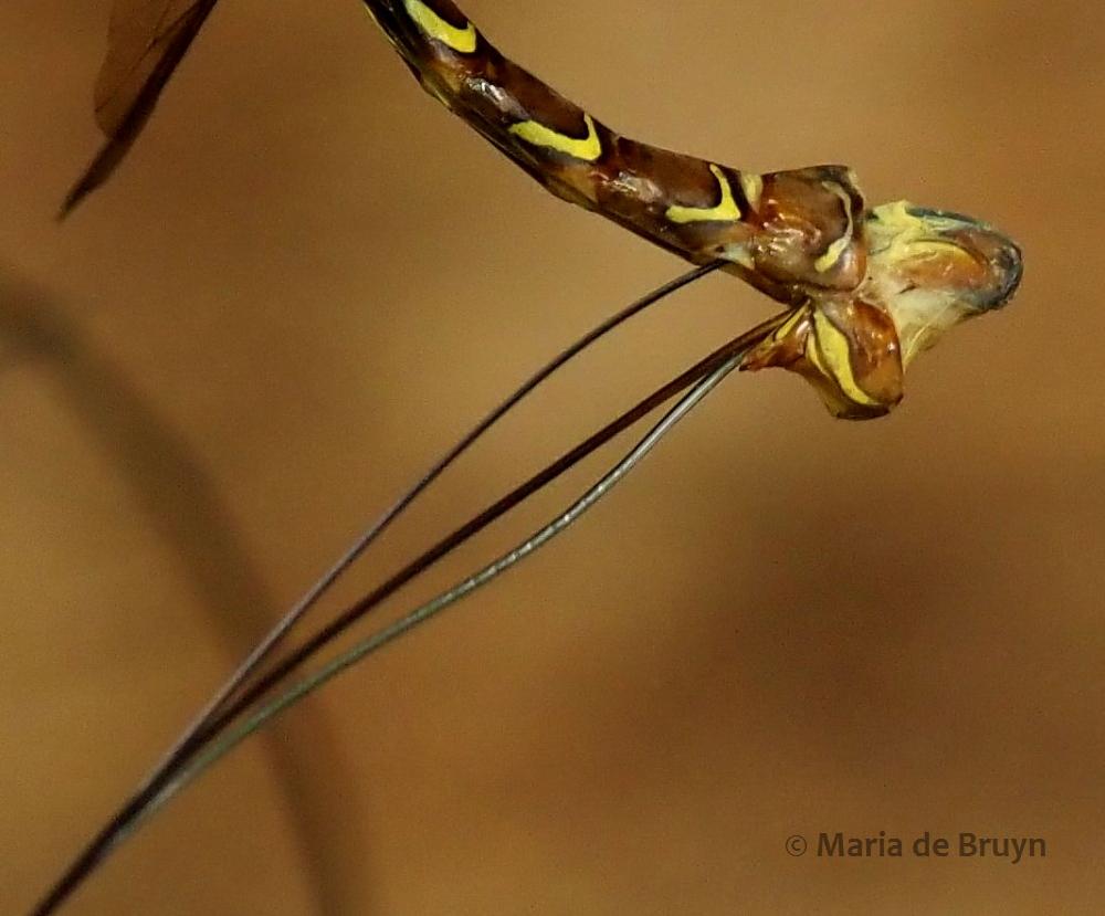 ichneumon wasp P5068171© Maria de Bruyn res (2)