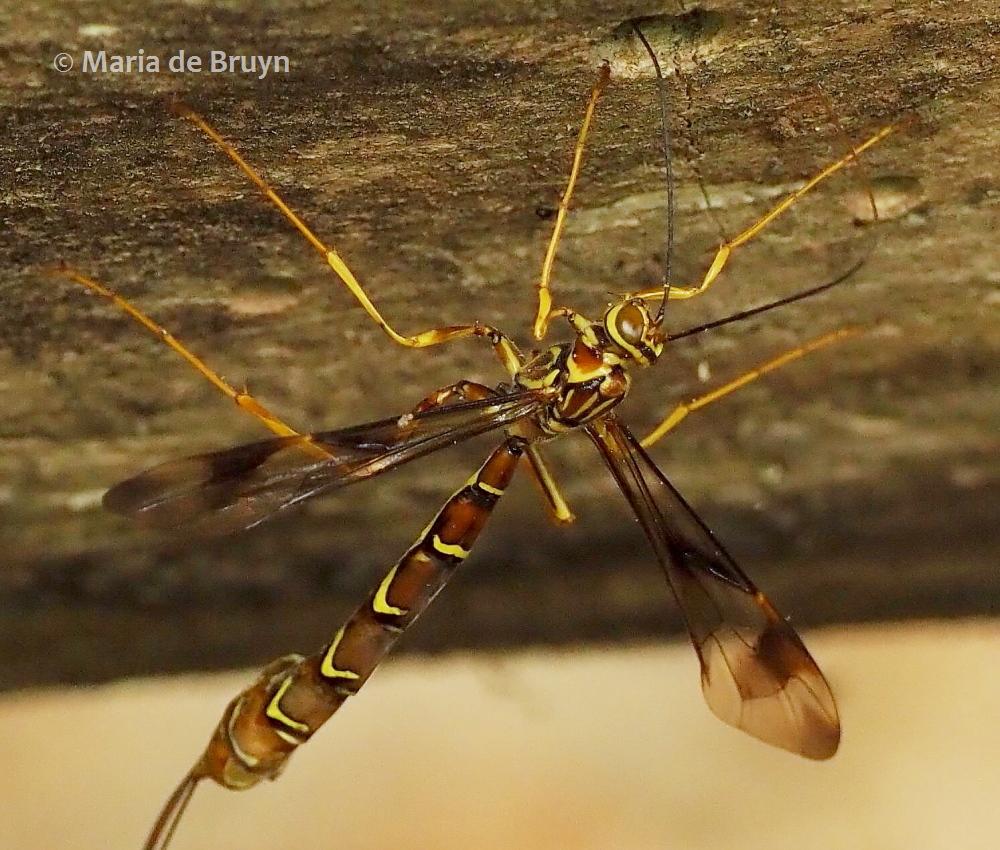 ichneumon wasp P5068180© Maria de Bruyn res (2)