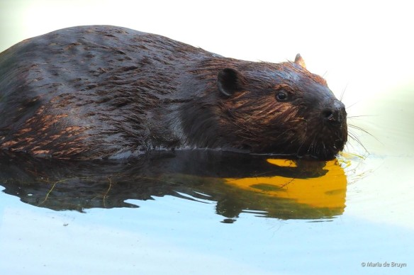14 American beaver P8132476 © Maria de Bruyn res