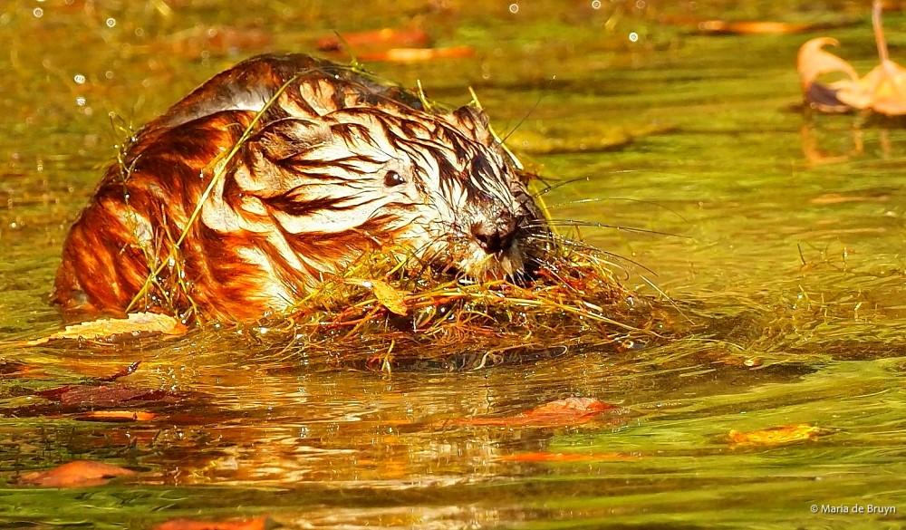 18 Muskrat P8132574© Maria de Bruyn res