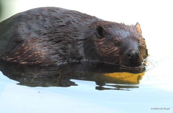19 American beaver P8132475 © Maria de Bruyn res
