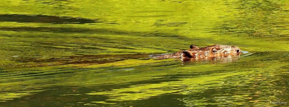 3 American beaver P8132481© Maria de Bruyn res