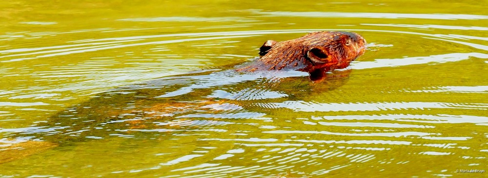 5 American beaver P8132456© Maria de Bruyn res