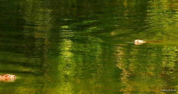 7 American beaver and muskrat P8132482 © Maria de Bruyn res