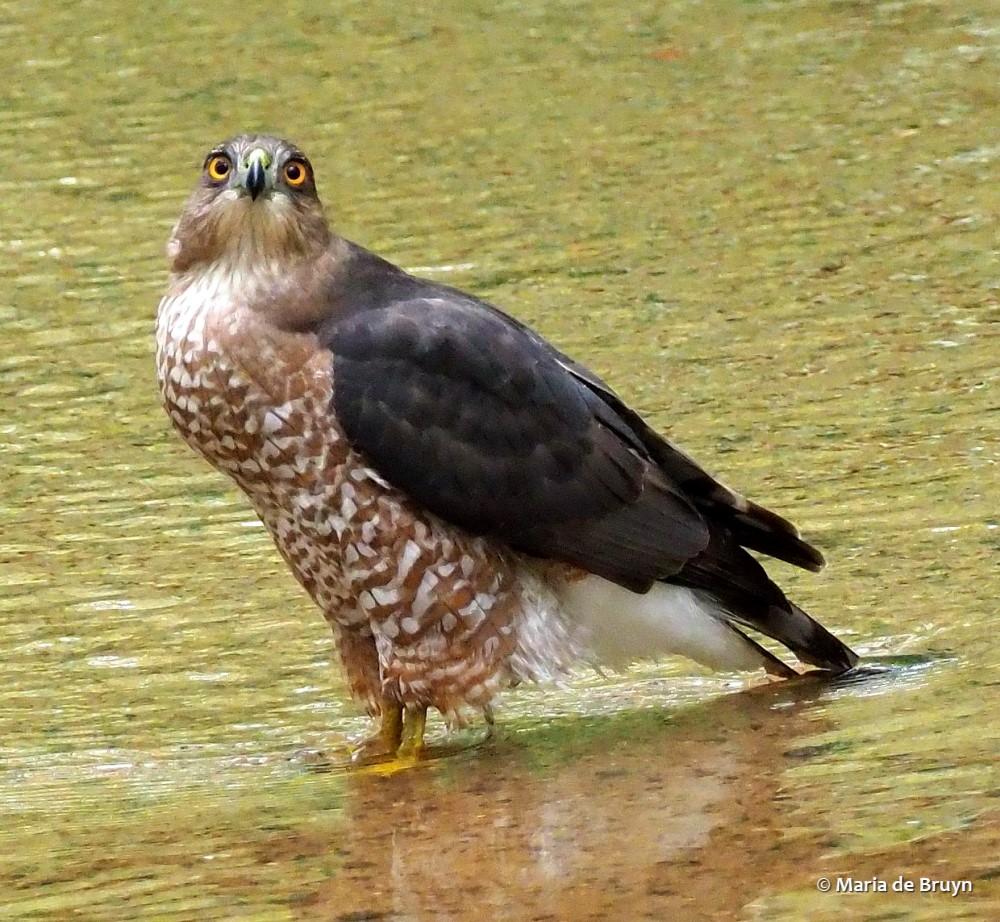 Cooper's hawk PA063998 © Maria de Bruyn res