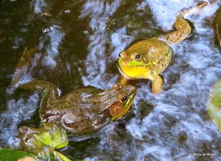 green frogs IMG_0021© Maria de Bruyn res