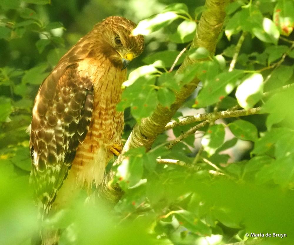 red-shouldered hawk P6271585© Maria de Bruyn res