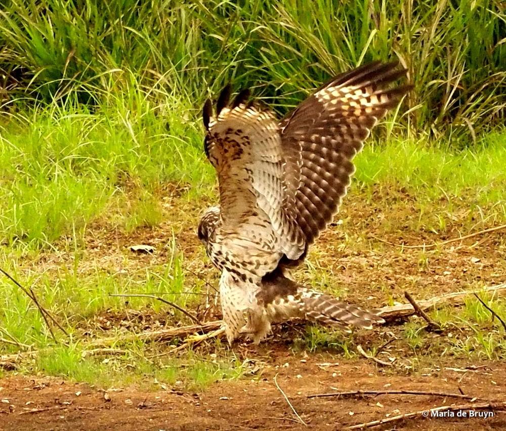 red-shouldered hawk P8317253© Maria de Bruyn res