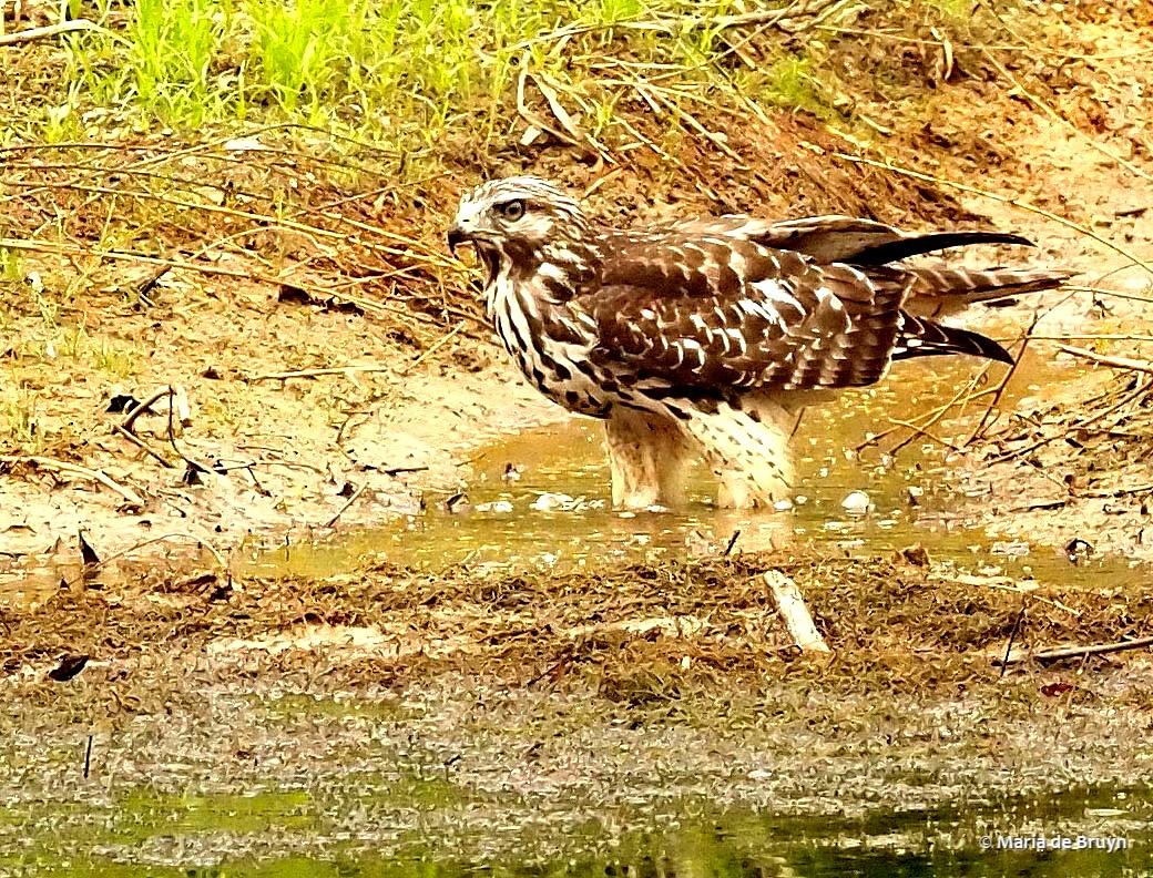 red-shouldered hawk P8317401© Maria de Bruyn
