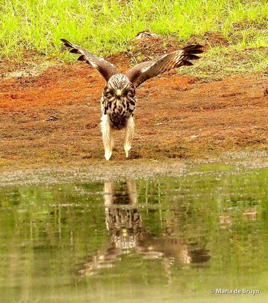 red-shouldered hawk P8317413 © Maria de Bruyn res