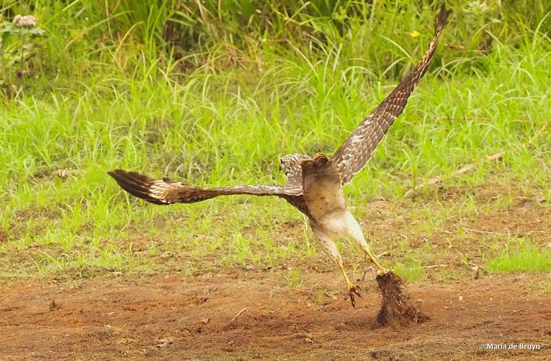 red-shouldered hawk P8317604 © Maria de Bruyn