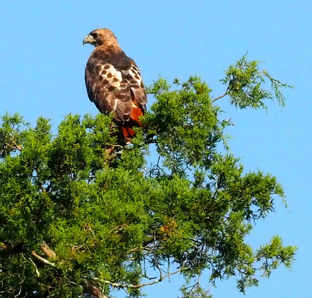 red-tailed hawk P9199890 © Maria de Bruyn res